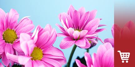 Pinke Margeritenblüten