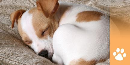 Kleiner Hund liegt eingekuschelt auf einer Decke