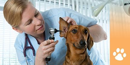 Tieraerztin schaut Dackel ins Ohr
